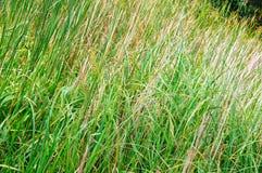 Starkes Gras Stockbild