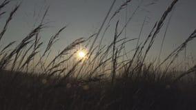 Starkes Gras auf einem Gebiet während des Sonnenuntergangs stock footage