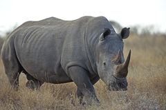 Starkes Nashorn Stockbild