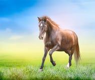 Starkes Pferd, das auf dem grünen Feld läuft Stockfotos