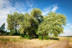 Starkt träd i fältet Arkivbilder