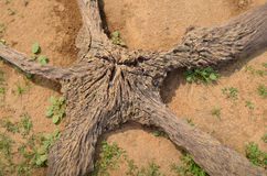 Starlike old root on the ground Royalty Free Stock Photography