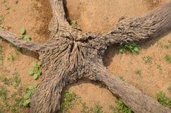 Starlike stary korzeń na ziemi Fotografia Royalty Free