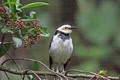 starling八哥类的黑色散叶甘兰nigricollis 免版税库存照片