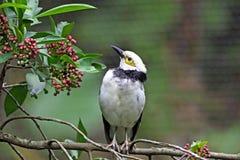 starling八哥类的黑色散叶甘兰nigricollis 免版税库存图片