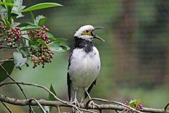 starling八哥类的黑色散叶甘兰nigricollis 库存图片