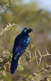 starling博茨瓦纳的burchells 图库摄影
