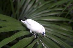 starling巴厘岛leucopsar的rothschildi 图库摄影
