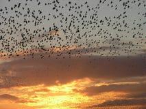 starling的形成 免版税库存照片