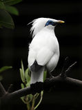 starling的巴厘岛 免版税库存照片