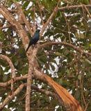 starling鼓起的黑色 免版税图库摄影