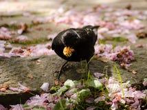 Starling есть крупный план живой природы насекомых Стоковые Изображения