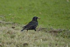 Starling и его обед, ослабляя в солнечном дне Стоковая Фотография