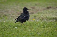 Starling и его обед, ослабляя в солнечном дне Стоковое фото RF