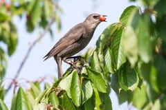 Starling крадя зрелые вишни Стоковые Изображения