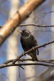 Starling на ветви березы Стоковые Изображения RF