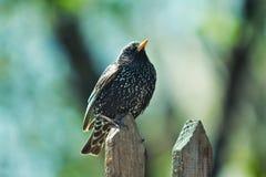 Starling на загородке Стоковая Фотография