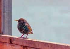 Starling на уступе Стоковое Изображение