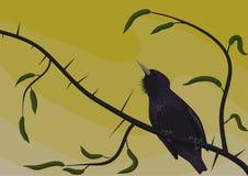 Starling на sprig шиповатом Стоковая Фотография