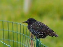 Starling от Фарерских островов - faeroensis Sturnus vulgaris Стоковое Изображение