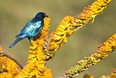 starling плащи-накидк лоснистый стоковые фото
