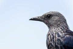 Starling подогнали красным цветом, который в Южной Африке стоковое фото