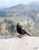 Starling подогнали красным цветом, который Стоковое Изображение RF