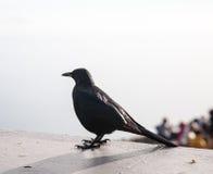 Starling подогнали красным цветом, который Стоковое фото RF