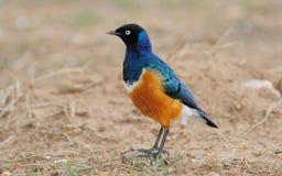 starling превосходный Стоковое Изображение RF