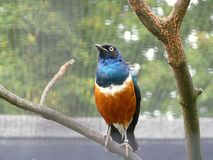 starling превосходный Стоковое фото RF