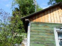 Starling птенеца под крышей дома Стоковые Изображения RF