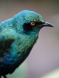 starling птицы лоснистый Стоковое Изображение