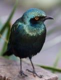 starling птицы лоснистый Стоковые Фотографии RF
