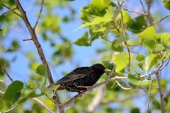Starling с едой в клюве Стоковая Фотография RF