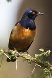 Starling 0183 del Hildebrandt Fotografie Stock Libere da Diritti
