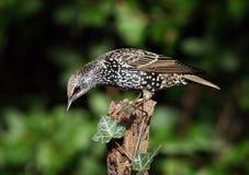 starling стоковое фото