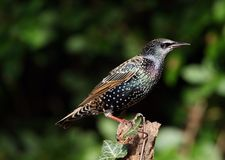 Starling Foto de Stock Royalty Free