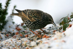 Starling Stock Image