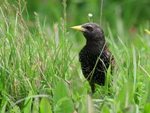 Starling Photos stock
