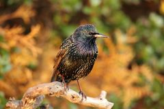 A starling. Royalty Free Stock Photo