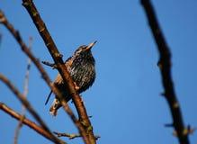 Starling Fotografie Stock Libere da Diritti
