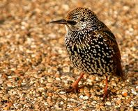 Starling. Close up on starling in the wild Royalty Free Stock Photography