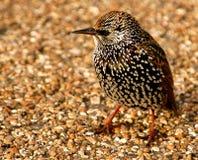 Starling Photographie stock libre de droits