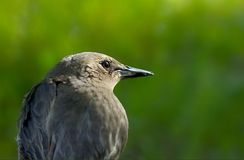 Starling  ? Royalty Free Stock Image