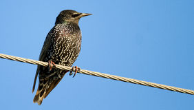 Starling. Watching around on electricity wire Royalty Free Stock Photo