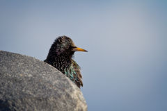 Starling. A Starling on a Rock and Watching stock image