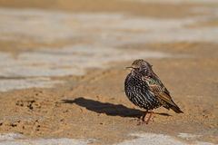 Starling. A Colorful Starling Enjoying Winter Sun stock photos