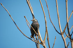 Starling Photo stock