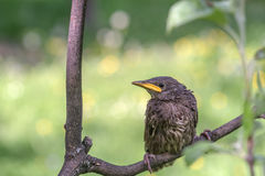 starling Imagem de Stock Royalty Free