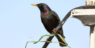 starling Royalty-vrije Stock Foto